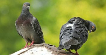 pigeons allergy india