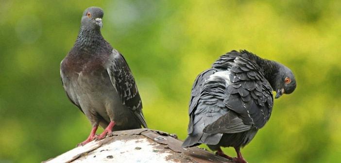 pigeons allergy india