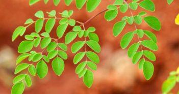 moringa leaves for breastfeeding